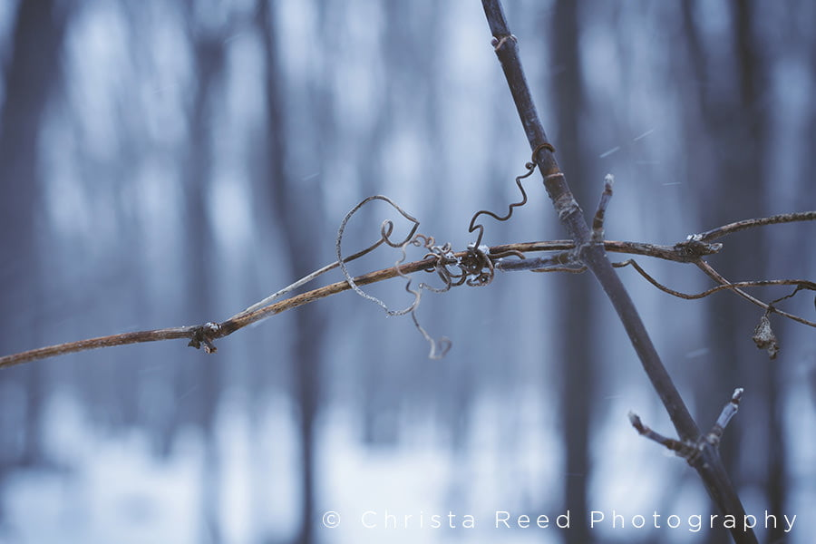 grape vine in the woods during winter at the Minnesota river